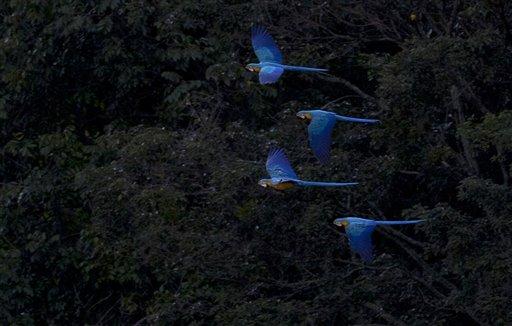 VENEZUELA-GUACAMAYAS