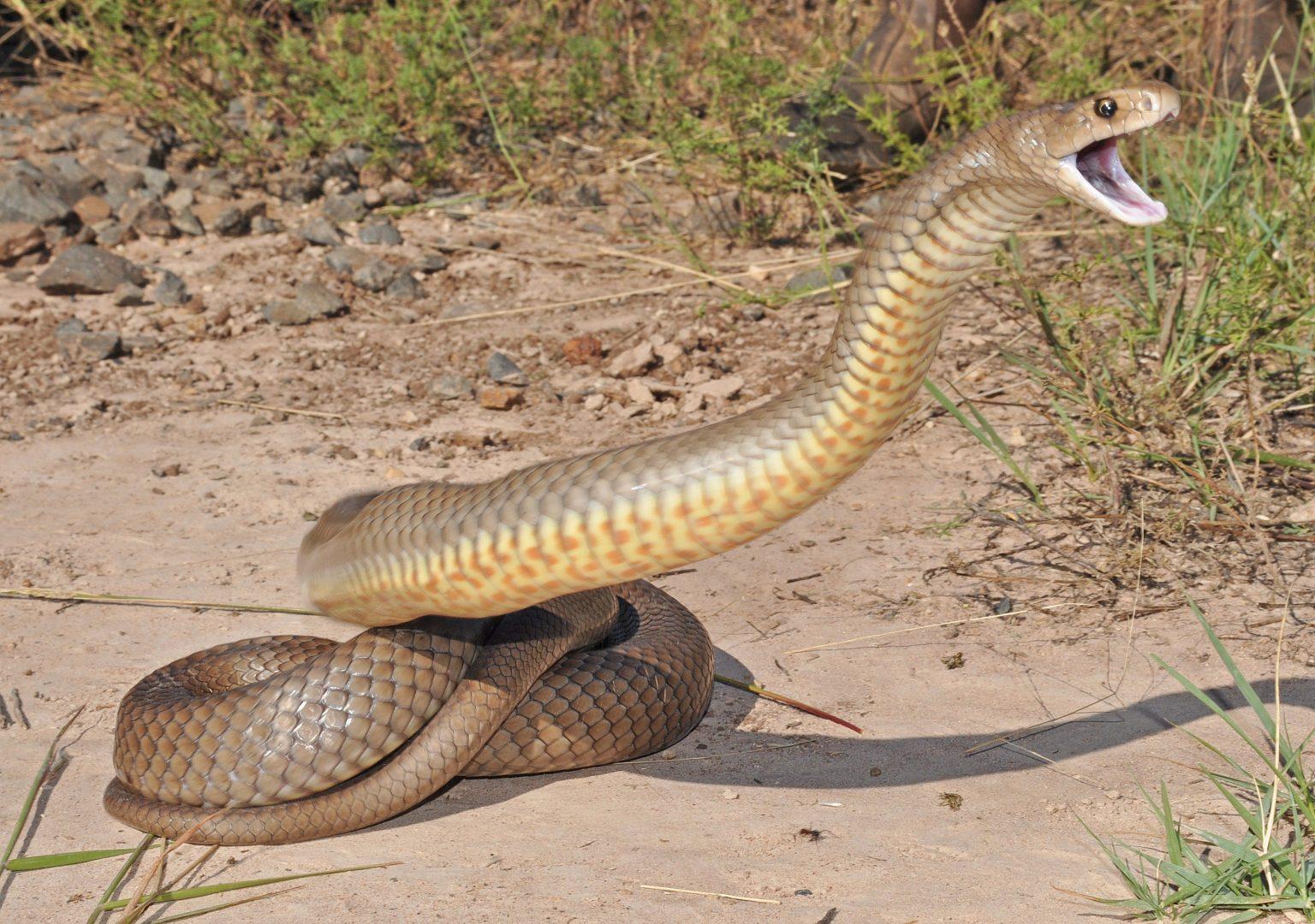 Riesgo de sufrir mordeduras de serpientes aumenta con la temporada de lluvias